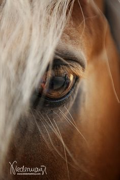 Fotografie Bettina Niedermayr VISIT FOR MORE Haflinger. Fotografie Bettina Niedermayr The post Haflinger. Fotografie Bettina Niedermayr appeared first on Fotografie. Horse Love, Horse Girl, Dark Horse, All The Pretty Horses, Beautiful Horses, Haflinger Horse, Horse Portrait, Horse Pictures, Palomino