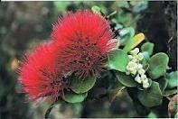 lehua (ohia) with berries