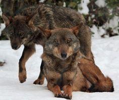 Loups Magnifiques *****