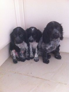 cocer spaniels types with pictures | stunning blue roan show type cocker spaniel pups | Southport ...