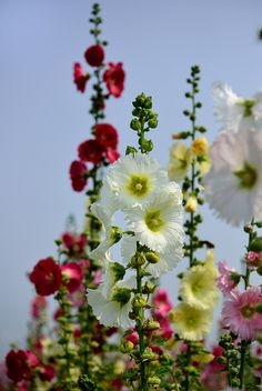 My Aunt Cora grew Hollyhocks; she taught us kids how to use toothpicks to construct hollyhock ladies with a big blossom for the skirt, medium and small buds for body and head.We then watched them waltz in a pan of water. My Flower, Wild Flowers, Beautiful Flowers, Hollyhocks Flowers, Dream Garden, Garden Inspiration, Beautiful Gardens, Garden Plants, Perennials