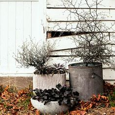 Wire netting bushes (Corokia cotoneaster)