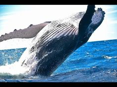 Many people want to compare Blue Whale Vs Humpback Whale fight, who going to win. Go further to know comparison, difference and similarity between Blue Whale Vs Humpback Whale facts. Whale Pictures, Ocean Pictures, Especie Animal, Baja California Sur, Whale Watching Tours, Blue Whale, Humpback Whale, Byron Bay, Amazing Destinations