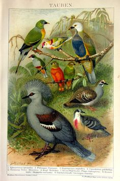 1904 Antique print of doves and pigeons by LyraNebulaPrints, $29.50