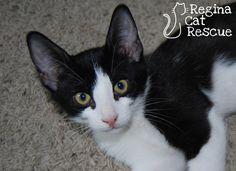 Oreo — Regina Cat Rescue