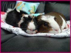Great site for guinea pig care