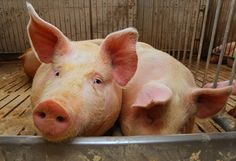 Hormel says it will take steps to investigate animal abuse at one of its supplier locations caught on video by animal rights group Mercy for Animals.