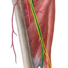 external iliac artery | muscle, vein, artery, nerve | pinterest, Muscles