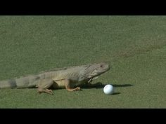 Andrew Loupe's ball is attacked by an iguana at the Puerto Rico Oepn