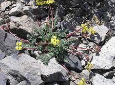 Lomatium roseanum - Adobe parsley  very rare  more south