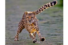 Cheetahs′ speed is only half the story, study finds