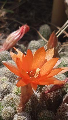 Fleurs de cactus de notre jardin à Montferrier sur Lez, dans l'Hérault.