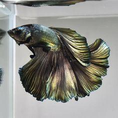 Life-Betta-Fish-034-Green-Copper-HM-Metal-Steel-034-JN49-Male