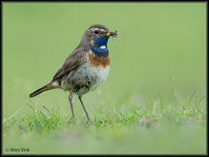 Gepind vanaf vroegevogels.vara.nl - Blauwborst