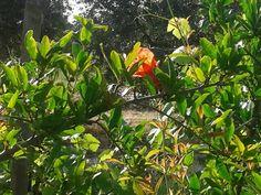 Fiore di melograno!