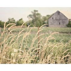 Golden Grass, Field, Farm, Soft Green, Country Farmhouse Decor ($5) ❤ liked on Polyvore
