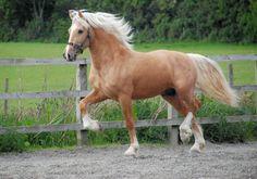 Si pudiera tener caballos, el primero seria un Palomino , existen muy pocas razas que muestren tanta devoción como él a su dueño.