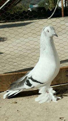 Cute Pigeon, Pigeon Pictures, Weird Birds, Pigeon Breeds, Homing Pigeons, Pigeon Loft, Dove Bird, Parakeet, Dog Accessories