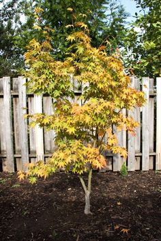 18 Excellent Japanese Maples