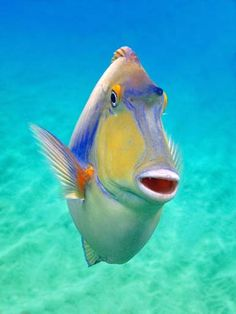 Unicorn Surgeonfish. I think I saw this guy at the Heart and Crown around 2 am last Thursday.
