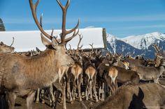 Moose Art, Winter, Animals, Deer Feeders, Winter Time, Animales, Animaux, Animal, Animais