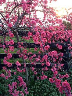 Cherry tree, Scott County, KY, https://sphotos-b.xx.fbcdn.net/hphotos-ash3/538142_10150608866477595_1839613088_n.jpg