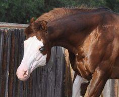 Texas Trademark All The Pretty Horses, Beautiful Horses, Animals Beautiful, Horse Stalls, Horse Barns, Cute Wild Animals, Animals And Pets, American Quarter Horse, Quarter Horses
