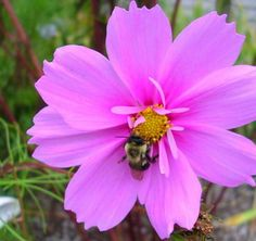 Hey, I found this really awesome Etsy listing at https://www.etsy.com/listing/159191486/pink-cosmos-seeds-butterfly-garden-seeds