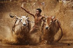 Pacu Jawi / bull race in Padang Sumatera.  by yaman ibrahim