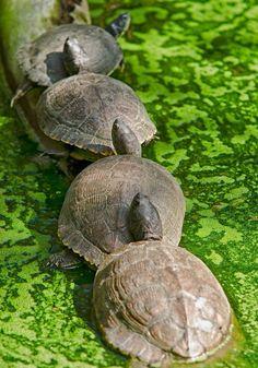 Turtle Caravan - Get your turtles in a row by Rashad Penn