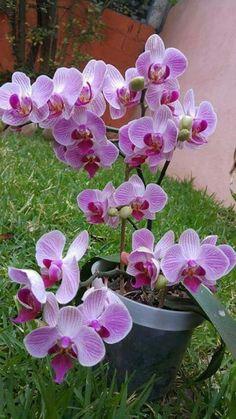 Exotic Flowers, Amazing Flowers, Beautiful Roses, Beautiful Flowers, Orchids Garden, Orchid Plants, Transplanting Orchids, Orchid Fertilizer, Orchid Flower Arrangements