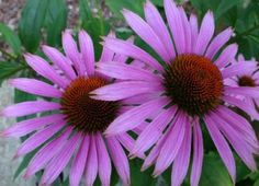 Tune in today as I talk about the most native herb and plant I know of. Echinacea is commonly known as purple coneflower. There are a few different species that are similar and used for similar thi...