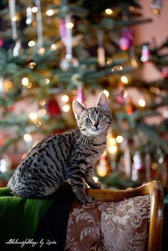 Beautiful Christmas Kitty