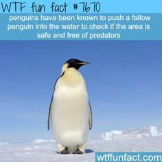 Penguins facts - WTF fun facts