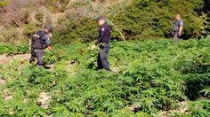 Destruyen 461,3 toneladas de plantas de marihuana y amapola en México