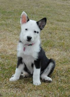 Icelandic Sheepdog | Icelandic Sheepdog Puppies in Alberta