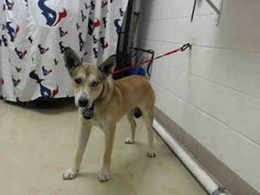 01/12/17-SUPER URGENT - HOUSTON FACILITY OVER CAPACITY!! -LUNA - ID#A475477  My name is LUNA  I am a female, tan and black German Shepherd Dog and Siberian Husky.  The shelter staff think I am about 1 year and 4 months old.  I have been at the shelter since Jan 11, 2017.  This information was refreshed 59 minutes ago and may not represent all of the animals at the Harris County Public Health and Environmental Services.