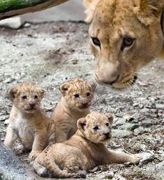 Valentina, a lioness, looks on next to her three cubs at the Santa Fe Zoo in Medellin, Colombia. The cubs were born at the Zoo on October 9, 2011.