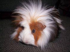 Love Guinea Pigs!