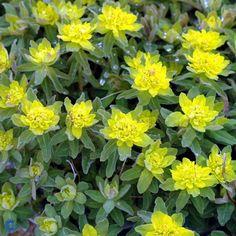 Forårs-Vortemælk - Euphorbia polychroma - Florashop.dk
