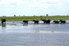 Olifanten in Chobe National Park, Botswana.