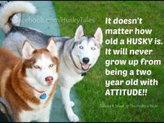 """See our web site for more details on """"siberian husky dogs"""". It is an excellent location to get more information. My Husky, Siberian Husky Dog, Husky Puppy, Pomeranian Puppy, Husky Quotes, Husky Humor, Funny Dogs, Cute Dogs, Funny Husky"""