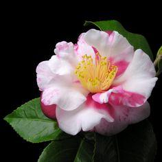 Camellia japonica subsp. rusticana 'Utage' (Japan, 1975)
