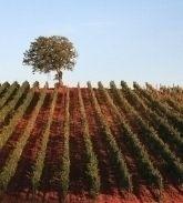 Lovely olive groves