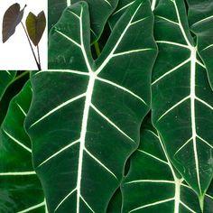 "Alocasia plant ""Frydek"" elephant ear-- this Alocasia likes more shade."