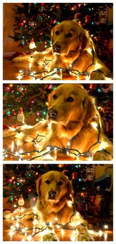 Great holiday pet photography idea from astepinthejourney.com: wrap your dog in holiday lights!