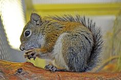 Each fall, groups including the Arizona Game and Fish Department scan the slopes of a southeastern Arizona mountain for signs of the endangered Mount Graham red squirrel.