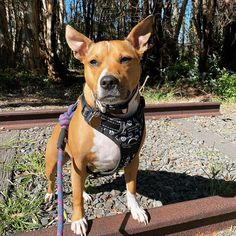 If your dog tends to pull, you'll need Wolf & I Co.'s Reflective No-Pull Dog Harness. Dog Harness, Dog Walking, Wednesday, Your Dog, Pitbulls, Wolf, Animals, Style, Swag
