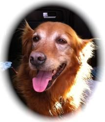 This is Rex a senior dog. He is an owner surrender due to economic circumstances. He has good house manners, is potty trained, neutered and loves kids. Rex is a healthy boy and he is looking for a forever home. He is at Golden Retriever Rescue So. Nevada
