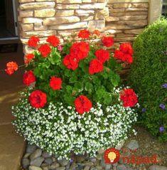 Nedávajte ich len do okien či na balkón: Pestovatelia ukázali úchvatné nápady, ako pestovať obyčajné muškáty - toto stokrát zvýrazní ich krásu!